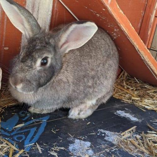Hector - Bunny Rabbit