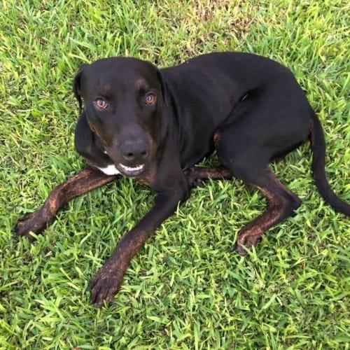 Jedd - Mastiff x Mixed Breed Dog