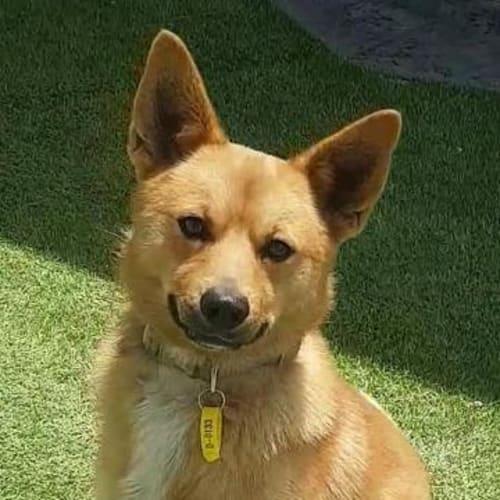 Cash - Fox Terrier x Pomeranian Dog