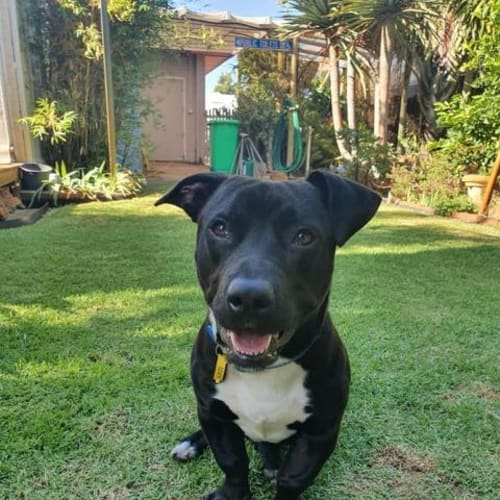 Lo - Staffordshire Bull Terrier Dog