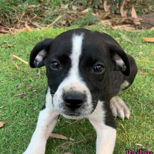 Bailey - Border Collie x Kelpie Dog