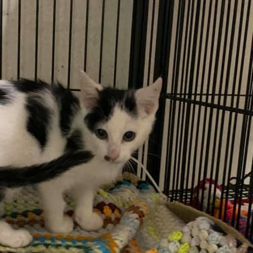 Minx - Domestic Short Hair Cat