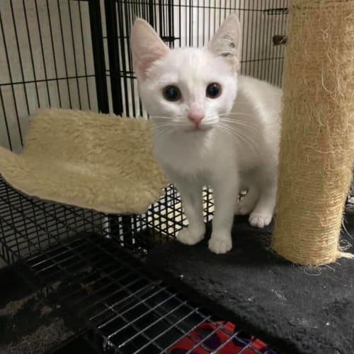 Jasmine - Domestic Short Hair Cat