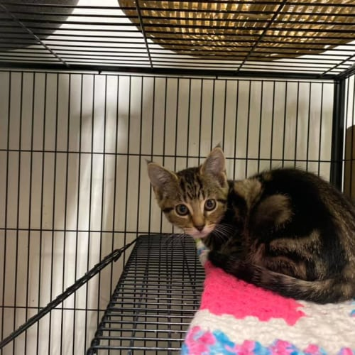 Madeline - Domestic Short Hair Cat