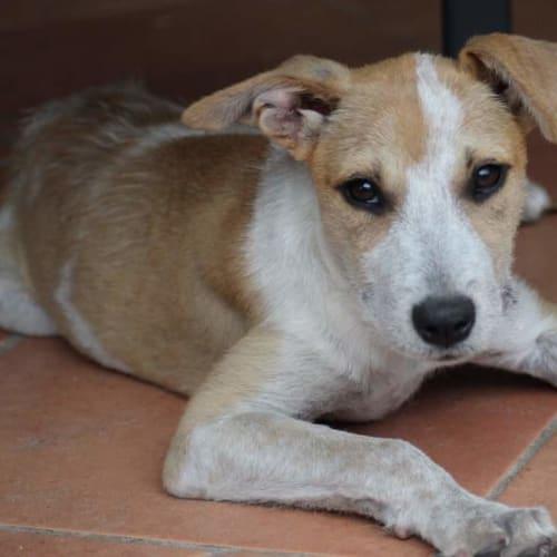 Mindy  - Australian Stumpy Tail Cattle Dog