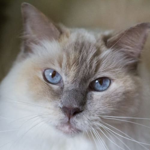 Sulki - Ragdoll Cat