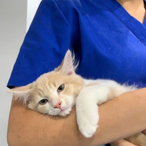 Marco - Domestic Medium Hair Cat