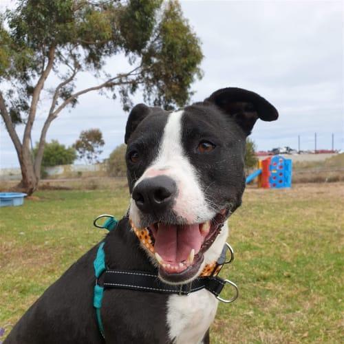 Tarma - Staffordshire Bull Terrier X Dog