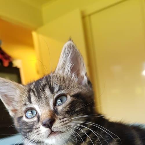 Titan - Domestic Short Hair Cat