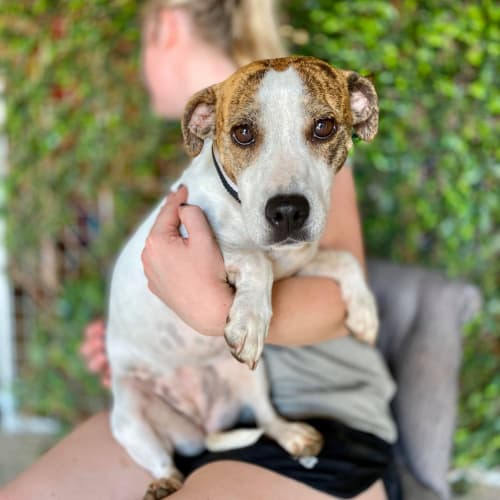 Jess - Jack Russell Terrier Dog