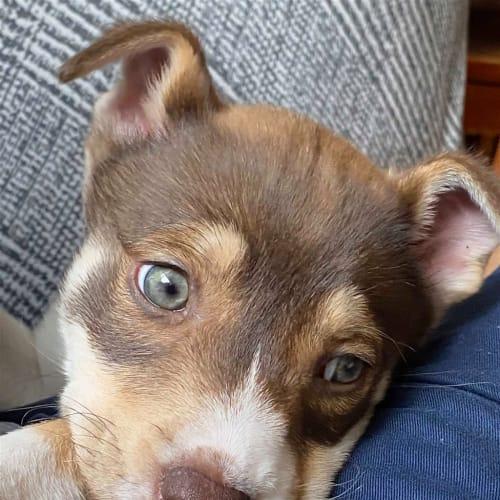 Annie - Siberian Husky Dog