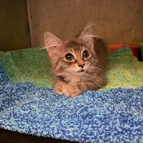 Malorie  - Domestic Medium Hair Cat