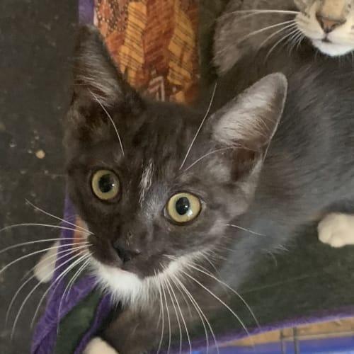 Emily - Domestic Short Hair Cat