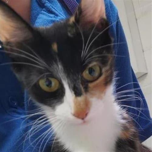 Wynter - Domestic Longhair Cat