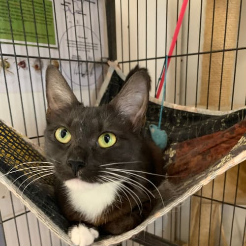 Eve - Domestic Short Hair Cat