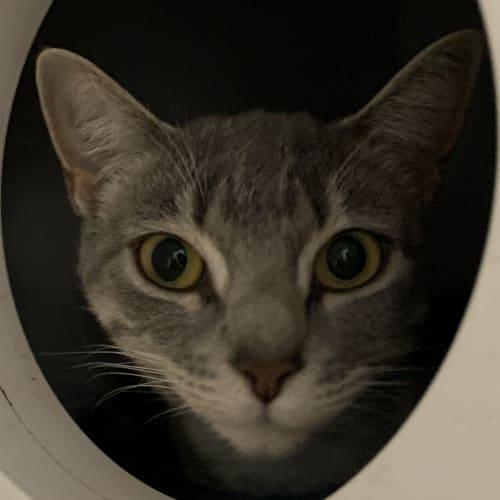 Olivia - Domestic Short Hair Cat