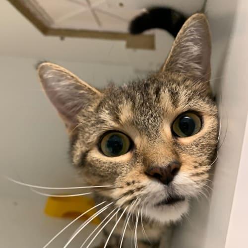 Melody - Domestic Short Hair Cat