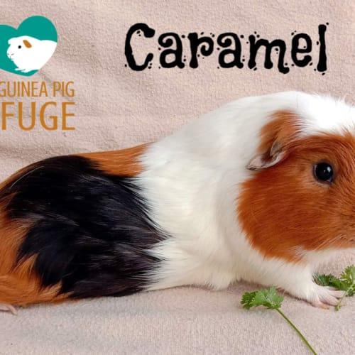 Caramel - Crested x Smooth Hair Guinea Pig