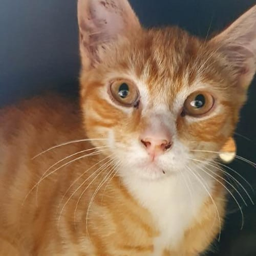 Theodore - Domestic Short Hair Cat