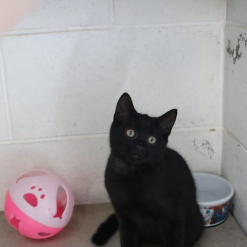 Darcy 936612 - Domestic Short Hair Cat