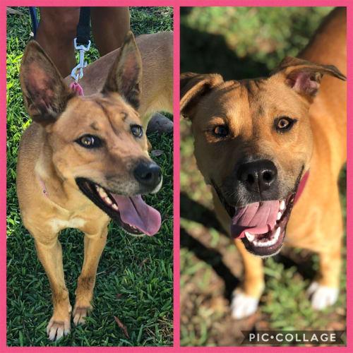 Keisha - Kelpie Dog