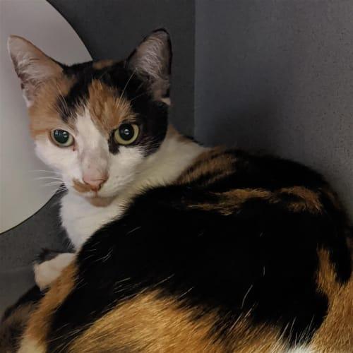 Alice - Domestic Short Hair Cat