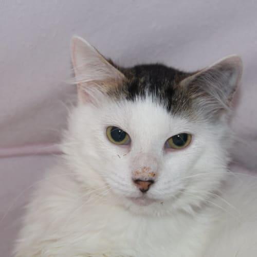 Raffa - Domestic Medium Hair Cat