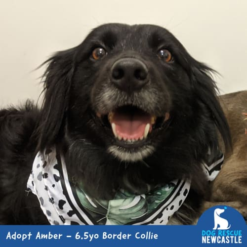 Amber ~ beautiful 6.5yo Border Collie - Border Collie Dog
