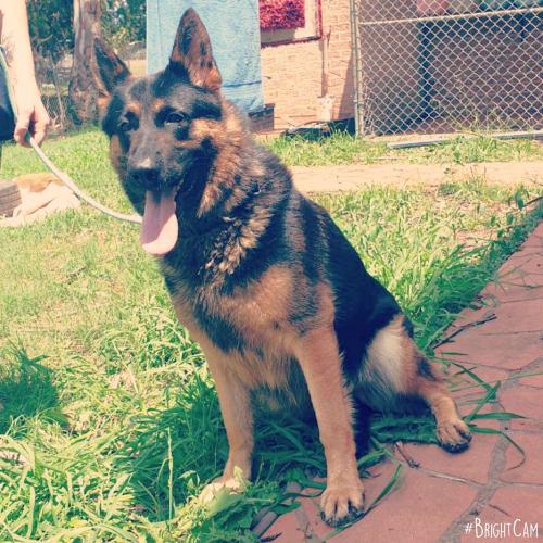 Delta ** Pure Breed German Shepherd ** - German Shepherd Dog