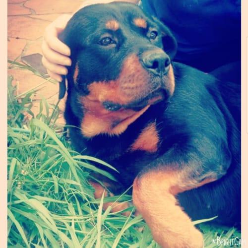 Hera ** Pure Breed Rottweiler ** - Rottweiler Dog