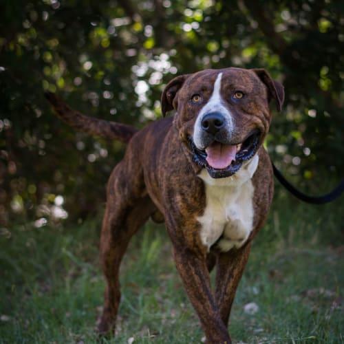 Oscar - Mastiff Dog
