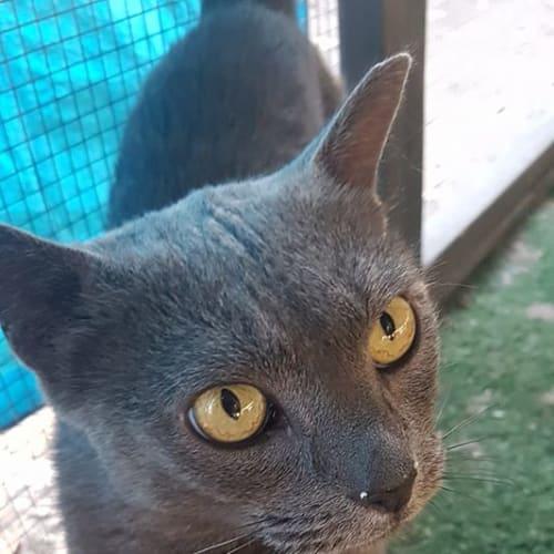 Pearla - Russian Blue Cat