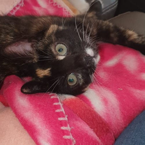 Nemo (Located in Templestowe) - Domestic Short Hair Cat