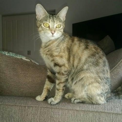 Zuri - Domestic Short Hair Cat