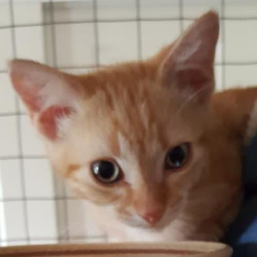 Jaffa - Domestic Short Hair Cat