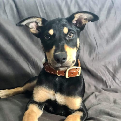 Buck - Kelpie Dog