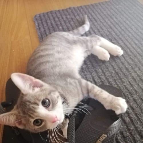 Grevillea - Domestic Short Hair Cat