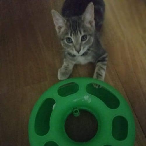 Aussie - Domestic Short Hair Cat