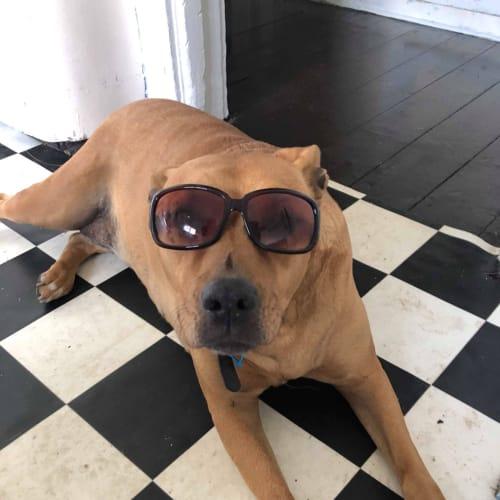 Baby - Staffordshire Bull Terrier Dog