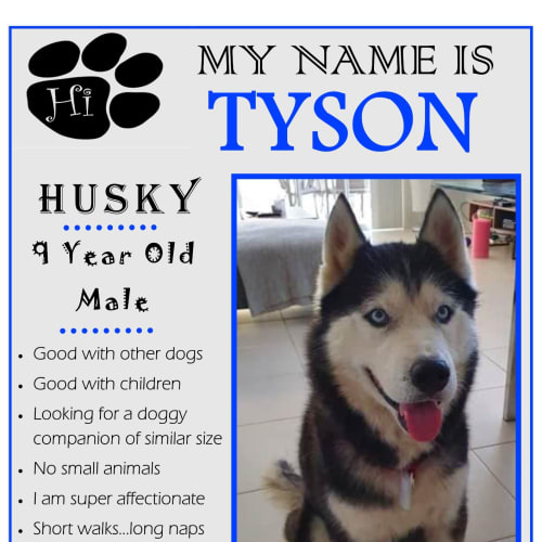 Tyson - Siberian Husky Dog