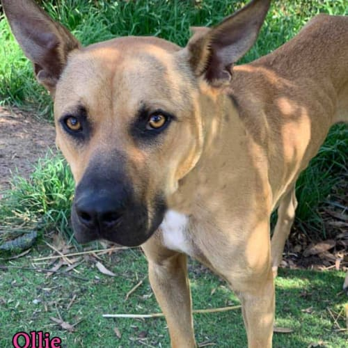 Ollie - Mastiff Dog