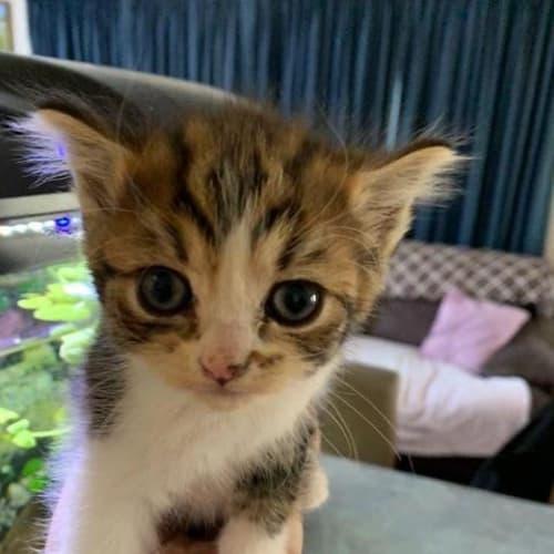 Smudge - Domestic Medium Hair Cat