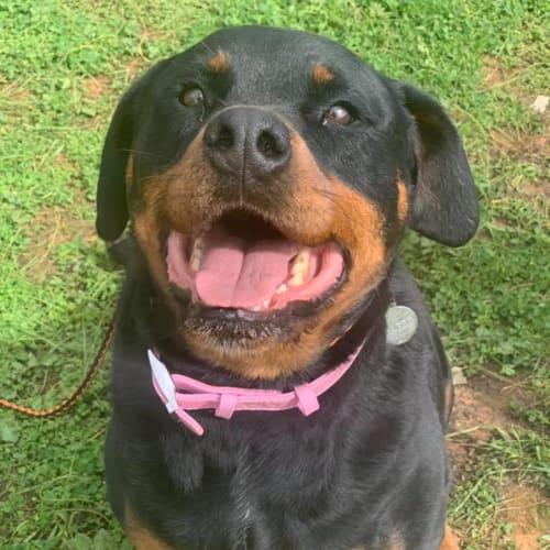 Gabby - Rottweiler Dog