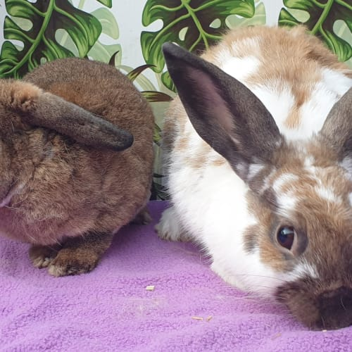 Goyle & Prince - Mini Lop x Mini Rex Rabbit