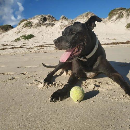 Russell DL2385 - Labrador Dog