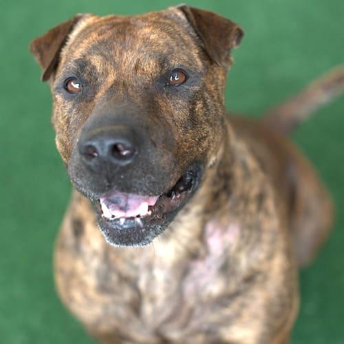 Misty - American Staffordshire Terrier Dog