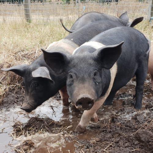 Pretzel Pig -  Pig