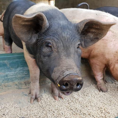 Peggy Pig -  Pig