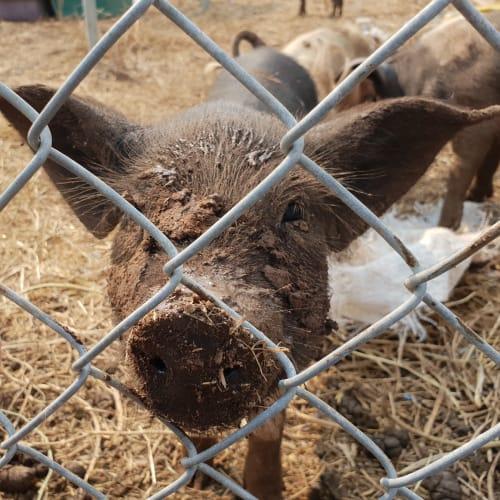 Petal Pig -  Pig