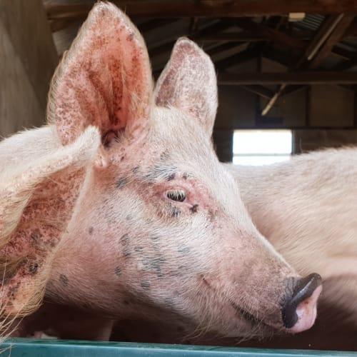 Penelope Pig -  Pig